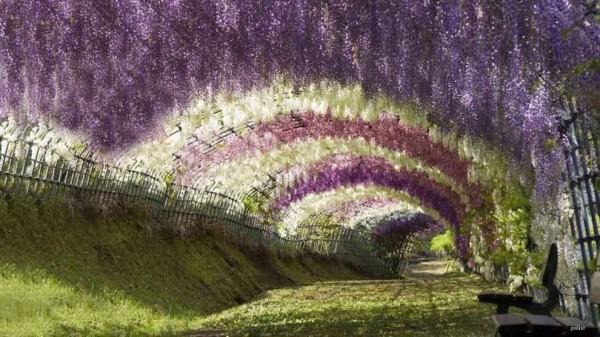 Tunelul Wisteria